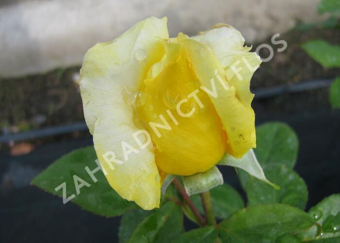 Růže velkokvětá 'Landora' - Rosa VK 'Landora'