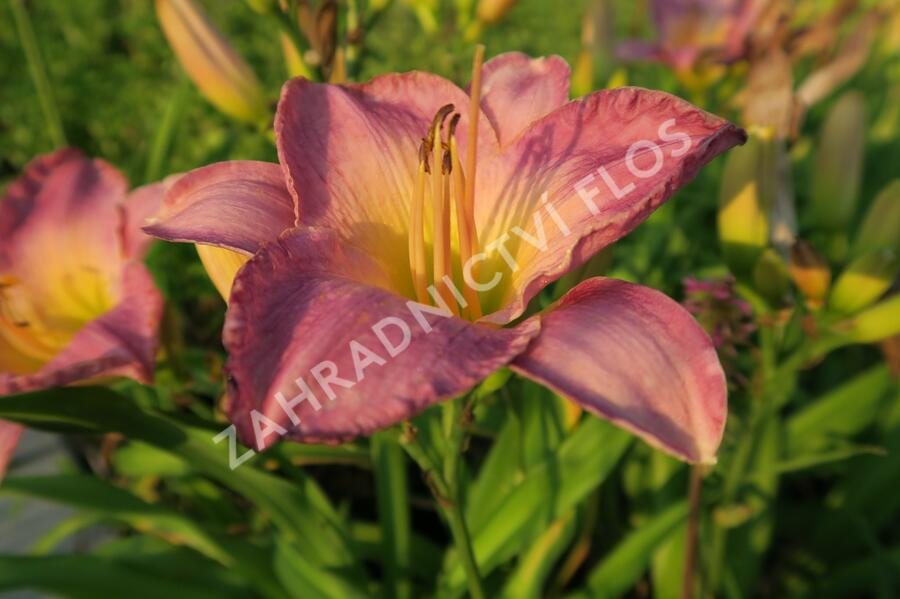 Denivka 'Moroccan Sunrise' - Hemerocallis 'Moroccan Sunrise'