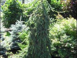 Smrk ztepilý 'Loreley' - Picea abies 'Loreley'