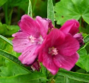 Slézovník 'Brilliant' - Sidalcea oregana 'Brilliant'
