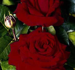 Růže velkokvětá 'Helmut Kohl' ('Red Nostalgie') - Rosa VK 'Helmut Kohl' ('Red Nostalgie')