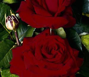 Růže velkokvětá 'Helmut Kohl' - Rosa VK 'Helmut Kohl'