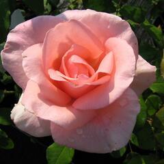 Růže velkokvětá 'Flamingo' - Rosa VK 'Flamingo'