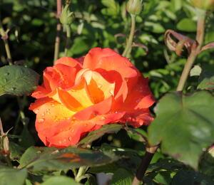 Růže velkokvětá 'DDR' - Rosa VK 'DDR'