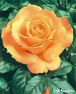 Růže velkokvětá 'Casanova' - Rosa VK 'Casanova'
