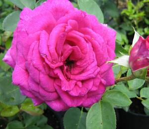 Růže velkokvětá 'Big Purple' - Rosa VK 'Big Purple'