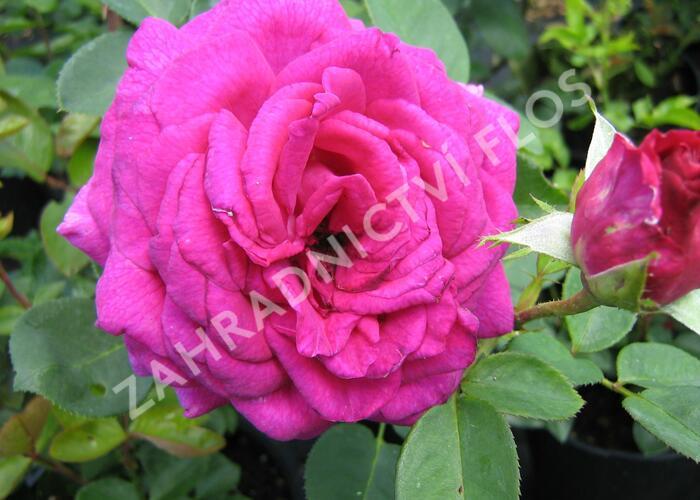 Růže velkokvětá 'Big Purple' - Rosa VK 'Big Purple'