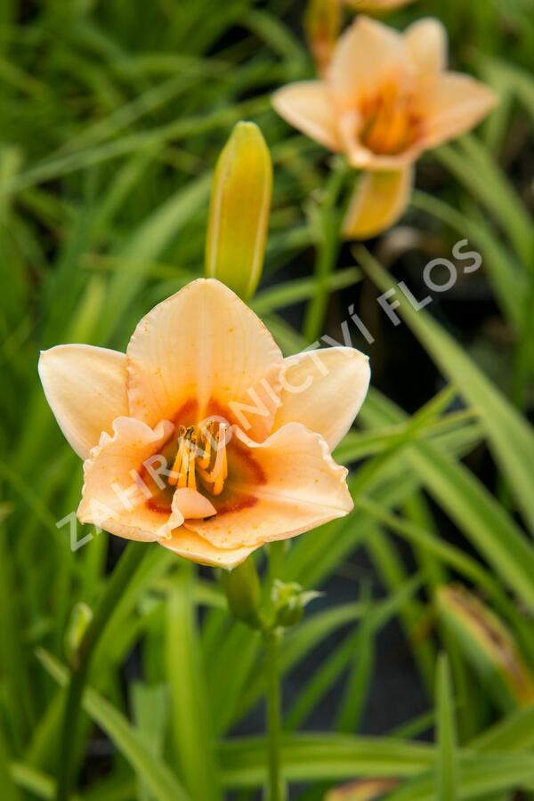 Denivka 'Little Women' - Hemerocallis 'Little Women'