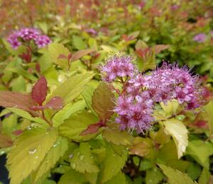 Tavolník japonský 'Magic Carpet' - Spiraea japonica 'Magic Carpet'