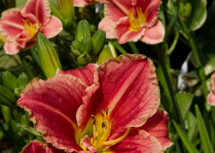 Denivka  'Little Anna Rosa' - Hemerocallis 'Little Anna Rosa'