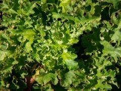 Dlužicha - Heuchera micrantha