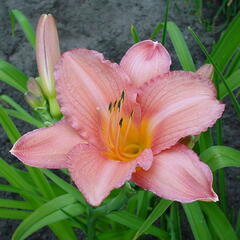 Denivka  'Hall's Pink' - Hemerocallis 'Hall's Pink'