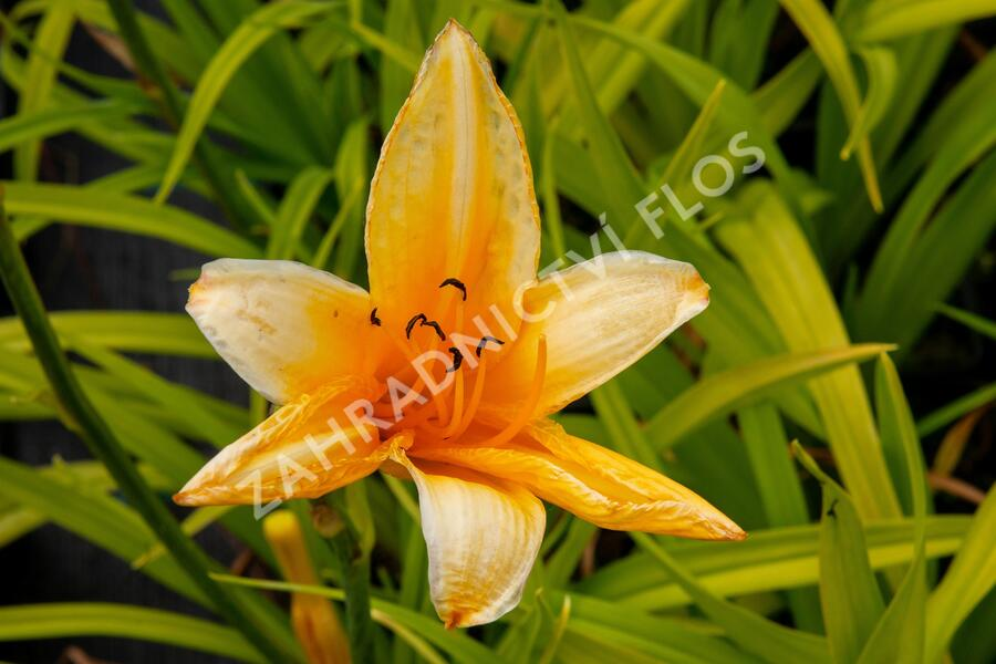 Denivka 'Chicago Sunrise' - Hemerocallis 'Chicago Sunrise'