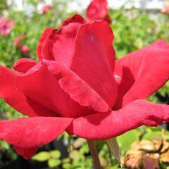 Růže velkokvětá 'Dona' - Rosa VK 'Dona'