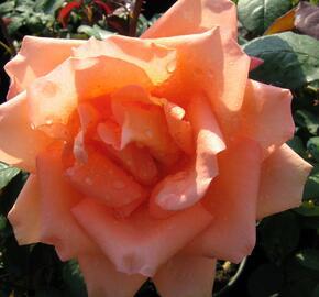Růže velkokvětá 'Die Welt' - Rosa VK 'Die Welt'