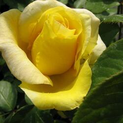 Růže velkokvětá 'Citrina' - Rosa VK 'Citrina'