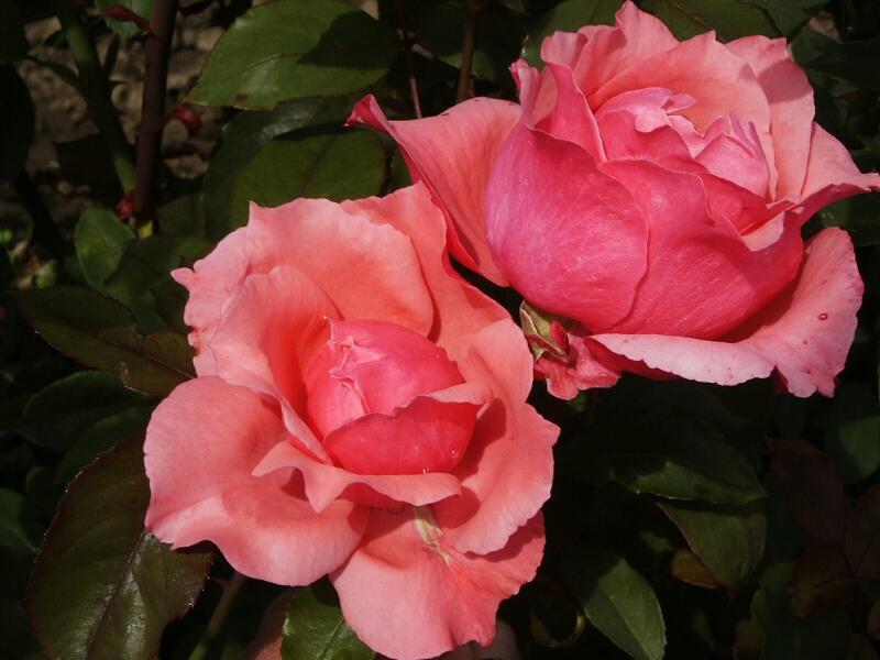 Růže velkokvětá 'Belange' - Rosa VK 'Belange'