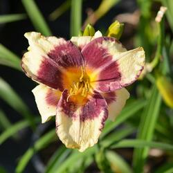 Denivka 'Calico Jack' - Hemerocallis 'Calico Jack'