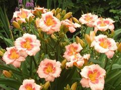 Denivka 'Blush'n Pink Eye' - Hemerocallis 'Blush'n Pink Eye'