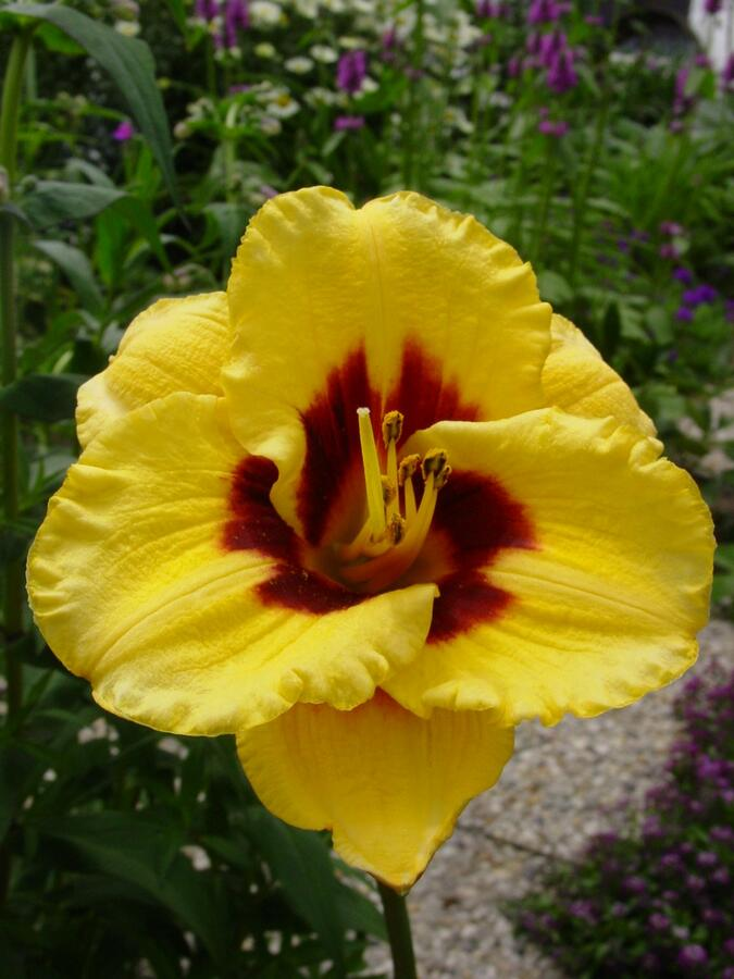 Denivka 'Blackberry Candy' - Hemerocallis 'Blackberry Candy'