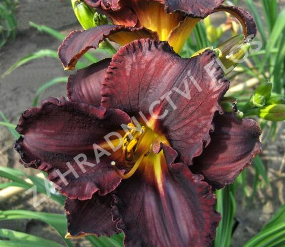 Denivka 'Black Stockings' - Hemerocallis 'Black Stockings'