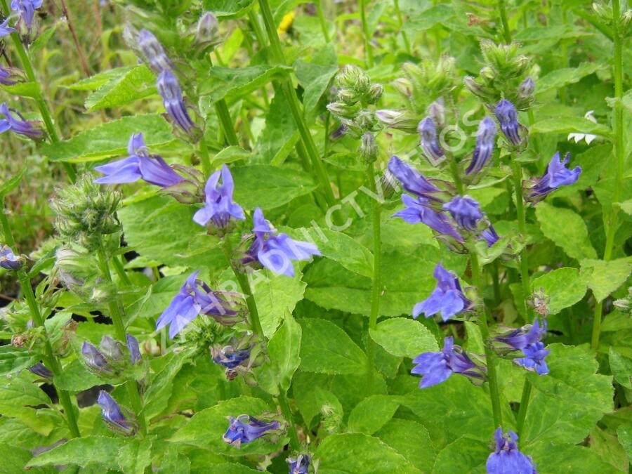 Lobelka 'Blaue Auslese' - Lobelia siphilitica 'Blaue Auslese'