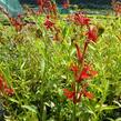 Lobelka šarlatová - Lobelia cardinalis