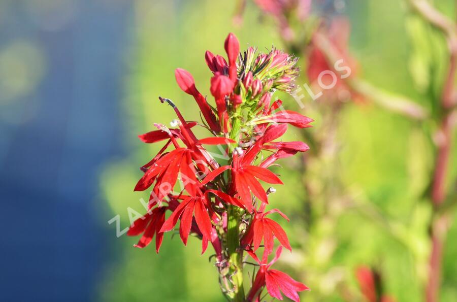 Lobelka - Lobelia cardinalis