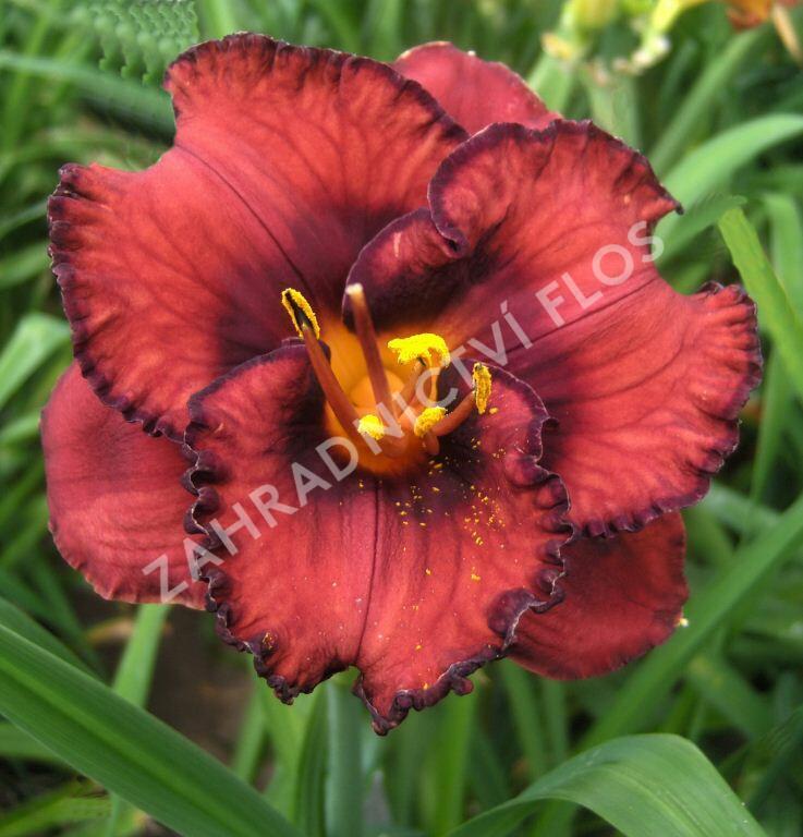Denivka 'Berrylicious' - Hemerocallis 'Berrylicious'