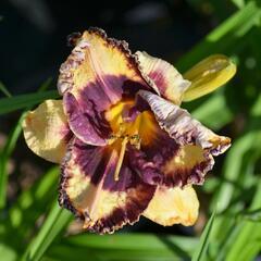 Denivka 'Awesome Blossom' - Hemerocallis 'Awesome Blossom'