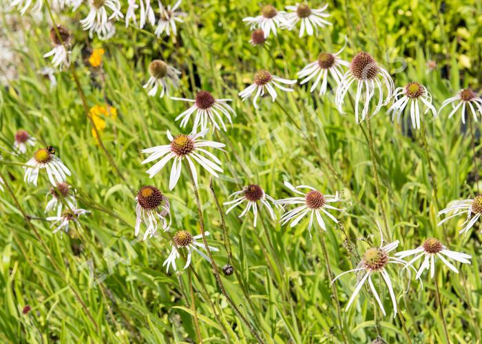 Třapatka bledá 'Huladancer' - Echinacea pallida 'Huladancer'