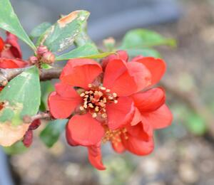 Kdoulovec nádherný 'Crimson and Gold' - Chaenomeles superba 'Crimson and Gold'