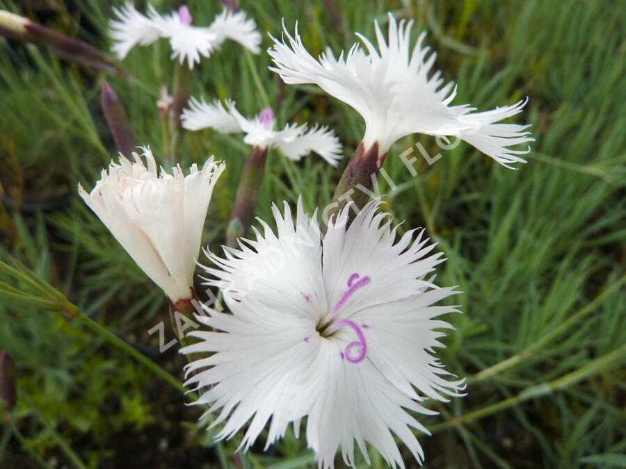 Hvozdík 'Greystone' - Dianthus 'Greystone'
