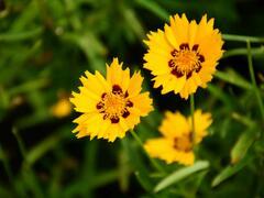 Krásnoočko velkokvěté 'Andiamo Yellow with Red' - Coreopsis grandiflora 'Andiamo Yellow with Red'