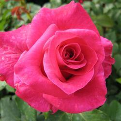 Růže velkokvětá 'Balet' - Rosa VK 'Balet'