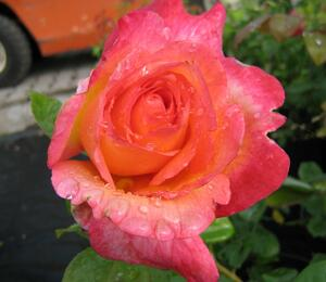 Růže velkokvětá 'Aquarius' - Rosa VK 'Aquarius'