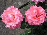 Růže velkokvětá 'Agena' - Rosa VK 'Agena'