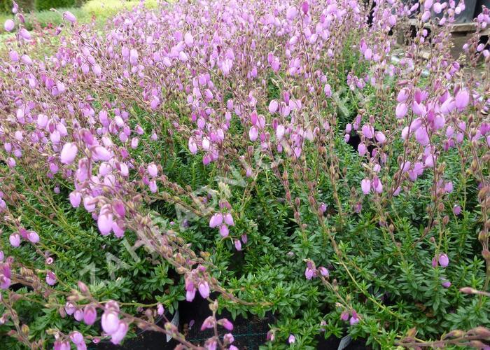 Dabécie kantabrijská 'Praegarie Violet' - Daboecia cantabrica 'Praegarie Violet'
