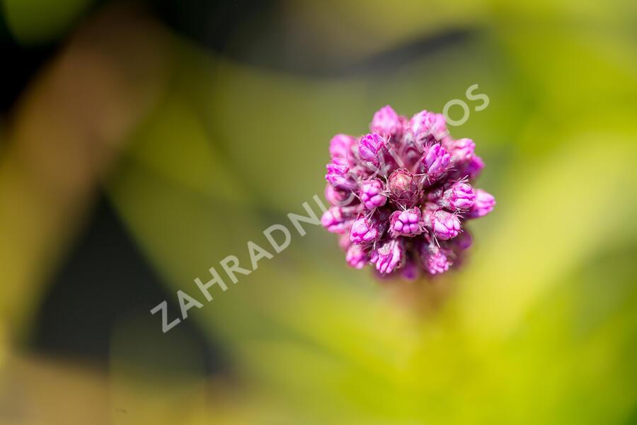 Šuškarda 'Kobold' - Liatris spicata 'Kobold'