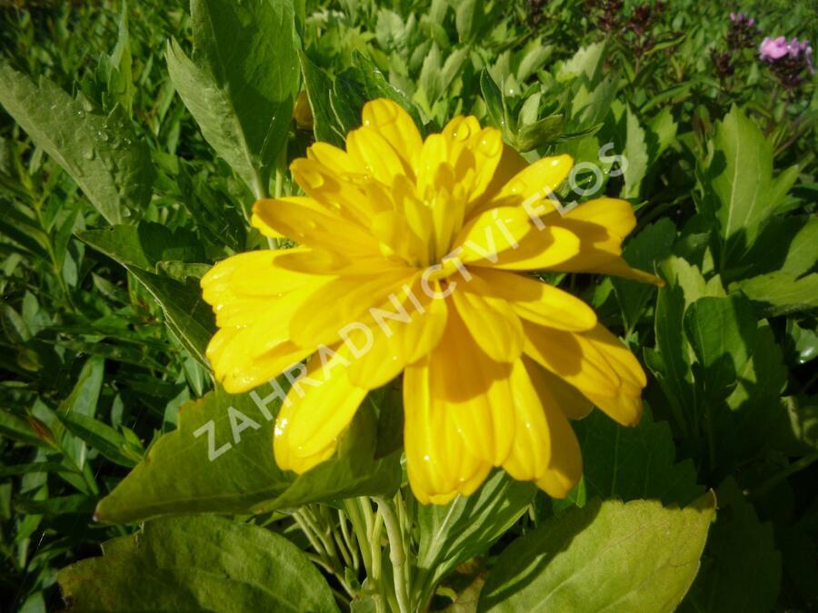 Třapatka dřípatá 'Goldquelle' - Rudbeckia laciniata 'Goldquelle'