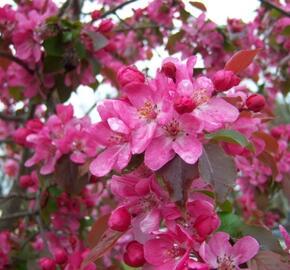 Okrasná jabloň 'Aldenhamensis' - Malus 'Aldenhamensis'