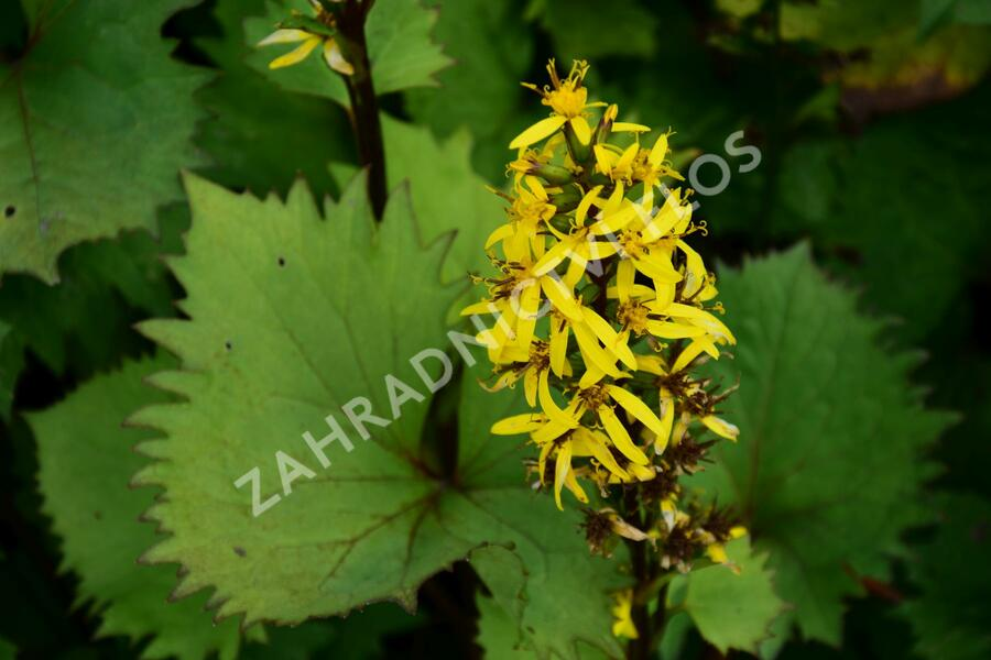 Popelivka 'Bottle Rocket' - Ligularia 'Bottle Rocket'