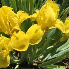 Kosatec 'Brassie' - Iris barbata-nana 'Brassie'