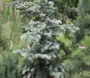 Smrk pichlavý 'Edith' - Picea pungens 'Edith'