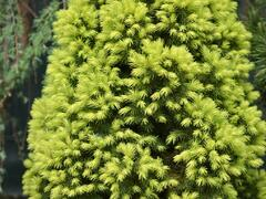 Smrk sivý 'Rainbow's End' - Picea glauca 'Rainbow's End'