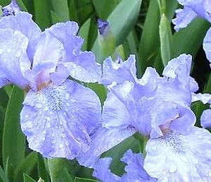 Kosatec nízký 'Blue Denim' - Iris barbata-nana 'Blue Denim'