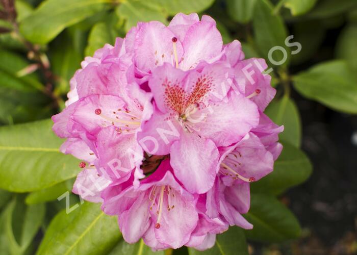 Pěnišník 'Scintillation' - Rhododendron (T) 'Scintillation'