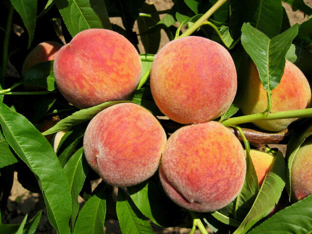 Broskvoň - velmi raná 'Harbinger' - Prunus persica 'Harbinger'