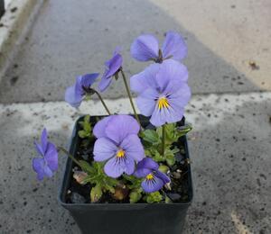 Violka růžkatá 'Blaue Schönheit' - Viola cornuta 'Blaue Schönheit'
