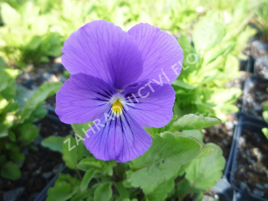 Violka růžkatá 'Azurella' - Viola cornuta 'Azurella'
